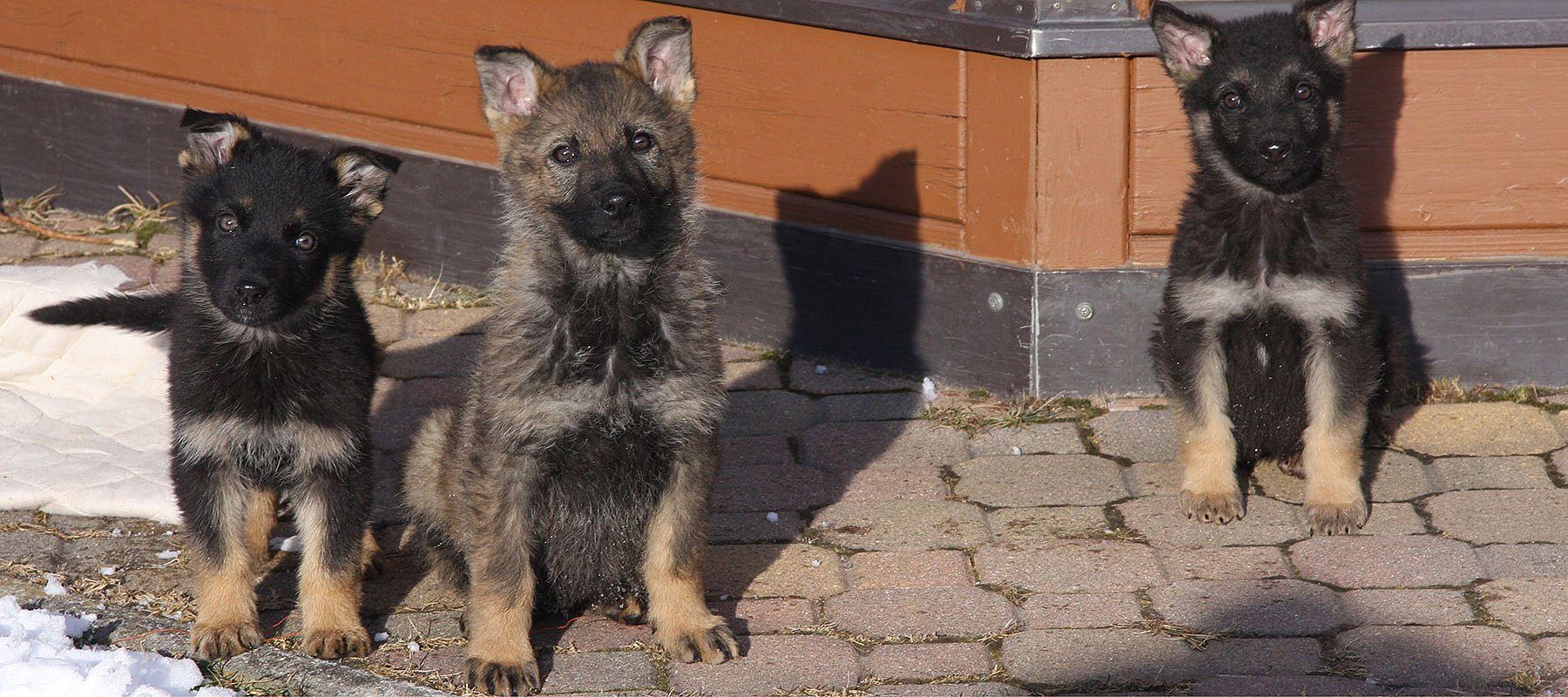 pokalspezialist Pokal Hund Hundezucht Serie VILLON Troph/äe 3 Gr/ö/ßen mit Gravur
